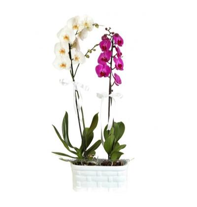 tekli mor orkide Mor ve Beyaz Orkide