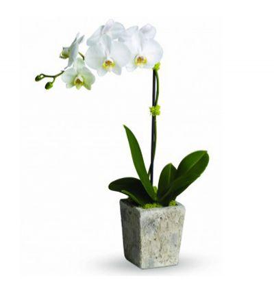 11 gül ve küçük ayıcık Tekli Beyaz Orkide