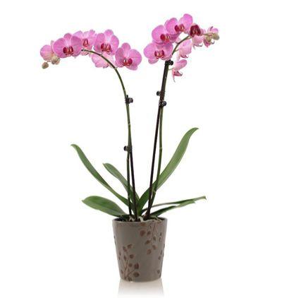 pembe lisyantus buketi Phalanopsis Orkide